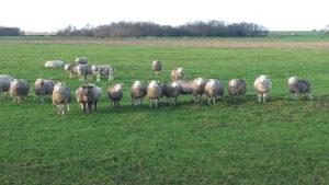 Texel-vakantiehuisje huren De Krim Texel schapen